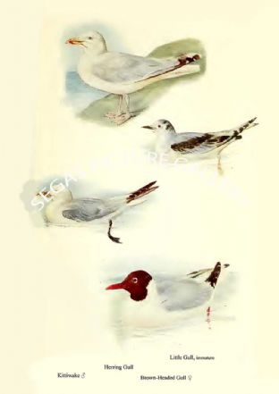 Herring Gull, Kittiwake, Little Gull & Brown-headed Gull